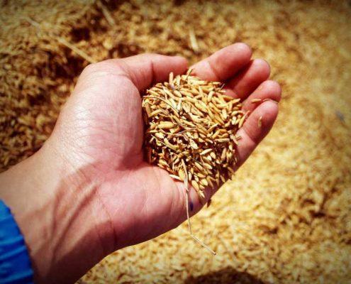 mazraeshomal 01 495x400 - محصولات کشاورزی